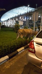 The first cow we saw right outside of the airport
