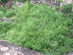 Looking down into one of the water tanks at Golconda Fort, filled with vegetation.