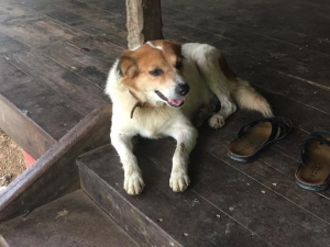 One of the dogs at ANET, Andaman Islands. Photo by Amy Brooks.