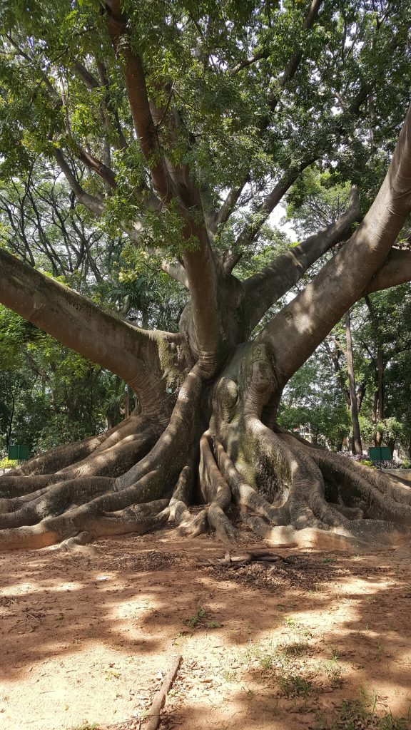 Huge Tree from a park in Bangalore